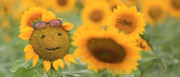 smiling-sunflowers-1